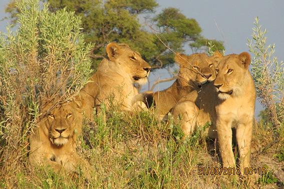 web Lions  1