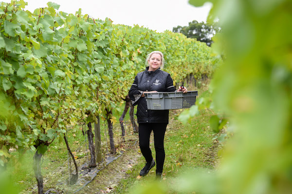 Ridgeview Wine Grape Harvest 08 Oct   024 Web