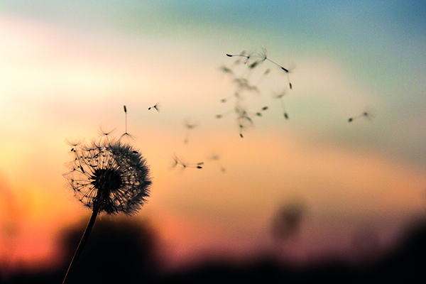 Dandelion WEB